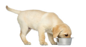 Labrador Retriever Puppy standing and eating from his dog bowl Royalty Free Stock Photography
