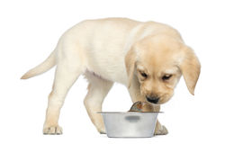Labrador Retriever Puppy standing and looking at a Common Chaffinch Royalty Free Stock Photo