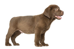 Labrador Retriever Puppy standing and Panting , 2 months old Stock Image