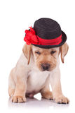 Labrador retriever puppy wearing a hat Stock Images