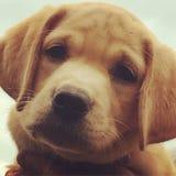 Labrador Retriever Puppy royalty free stock image