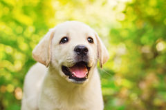Labrador retriever puppy in the yard. (shallow dof Stock Photo