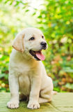 Labrador retriever puppy in the yard. (shallow dof Royalty Free Stock Photo