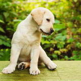 Labrador retriever puppy in the yard. (shallow dof Royalty Free Stock Photography