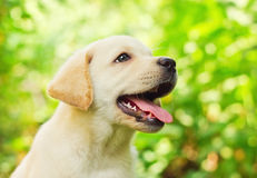 Labrador retriever puppy in the yard. (shallow dof Royalty Free Stock Images