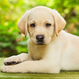 Labrador retriever puppy in the yard. (shallow dof Royalty Free Stock Photos