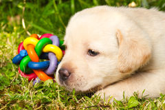 Labrador retriever puppy in the yard. Playing with a toy Royalty Free Stock Image