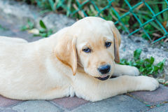 Labrador retriever puppy in the yard Royalty Free Stock Photos