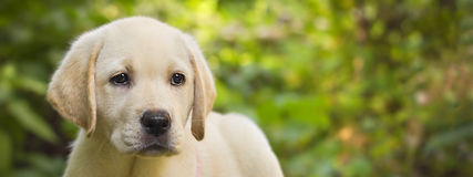 Labrador retriever puppy in the yard banner. (shallow dof Royalty Free Stock Photos