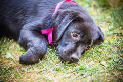 Labrador retriever puppy in the yard Royalty Free Stock Photo