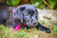 Labrador retriever puppy in the yard Royalty Free Stock Images