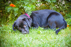 Labrador retriever puppy in the yard Stock Images