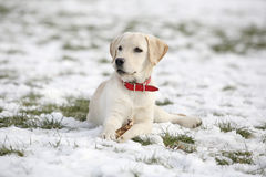 Labrador Retriever Puppy In Yard lying and looking left Royalty Free Stock Image