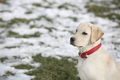 Labrador Retriever Puppy In Yard Standing And Looking to Left Stock Image