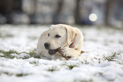 Labrador Retriever Puppy In Yard on Winter lying and play with wood Stock Photo