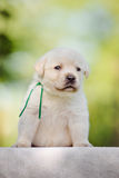 Labrador retriever puppy Stock Photography