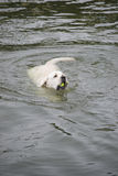 Labrador retriever que busca uma bola de tênis de um lago Fotografia de Stock Royalty Free