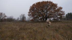Labrador retriever que corre através do campo do outono filme