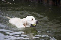 Labrador retriever que trae una pelota de tenis de un lago Foto de archivo