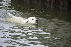 Labrador retriever que trae una pelota de tenis de un lago Imagenes de archivo
