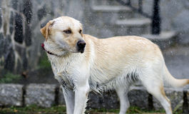 Labrador Retriever in the rain Stock Photography
