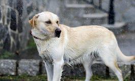 Labrador Retriever in the rain. On a blur background Stock Photography
