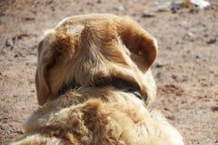 Labrador Retriever rear head view Stock Image