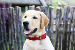 Labrador retriever. With red pet collar Royalty Free Stock Images