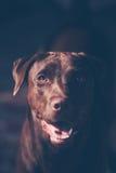 Labrador retriever ressemblant à l'utilisation l'appel d'oeil à son propriétaire Image stock