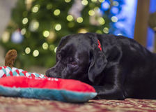 Labrador Retriever Resting Next to Her Christmas Toy Royalty Free Stock Photography
