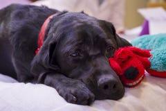 Labrador Retriever Resting Next to Her Christmas Toys Royalty Free Stock Image