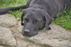 Labrador Retriever resting, South Bohemia Royalty Free Stock Photos