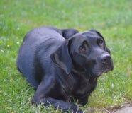 Labrador Retriever resting, South Bohemia. Czech Republic Royalty Free Stock Images