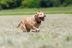 Labrador retriever running in a hay field. Picture of a labrador retriever running in a hay field Royalty Free Stock Photo
