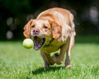 Labrador Retriever running towards camera about to catch a ball. Sandy or golden dog with mouth open, teeth and tongue showing just about to catch a ball in royalty free stock photos