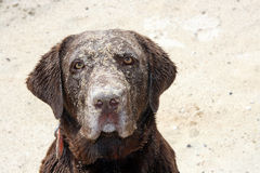 Labrador retriever  in sand Stock Photography