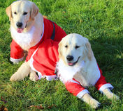 Labrador Retriever with the Santa costume to entertain the child Royalty Free Stock Photo