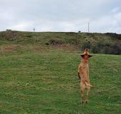 Labrador retriever sautant  images libres de droits