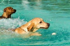 Labrador retriever-Schwimmen Stockfotografie