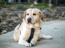 Labrador retriever se trouvant sur le plancher Images libres de droits