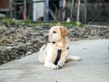 Labrador retriever se trouvant sur le plancher Photos libres de droits