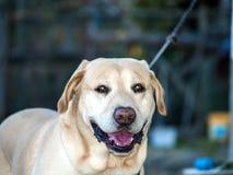 Labrador retriever se trouvant sur le plancher Photos stock