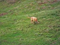 Labrador retriever searching. Some ground out Royalty Free Stock Photos