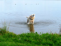 Labrador retriever shaking off water Royalty Free Stock Photo