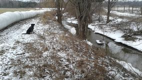 Labrador retriever sitting by Creek winter scene royalty free stock image