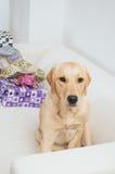 Labrador retriever sitting on sofa at Christmas Royalty Free Stock Photos