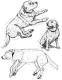 Labrador Retriever sketches Royalty Free Stock Photo