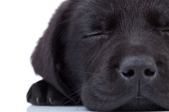 Labrador retriever sleeping Royalty Free Stock Image
