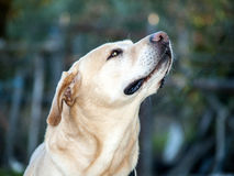 Labrador retriever smelling the air Royalty Free Stock Photos