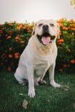 Labrador retriever smile and flowers. Labrador retriever smile and sunset background Stock Photography